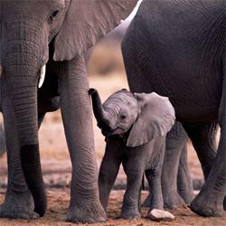 Elephant Family Dr Lori Todd